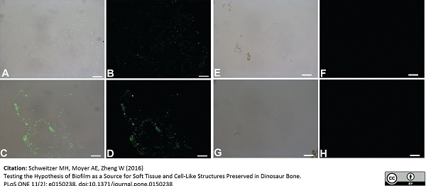 Peptidoglycan Antibody | 3F6B3 (10H6) gallery image 1