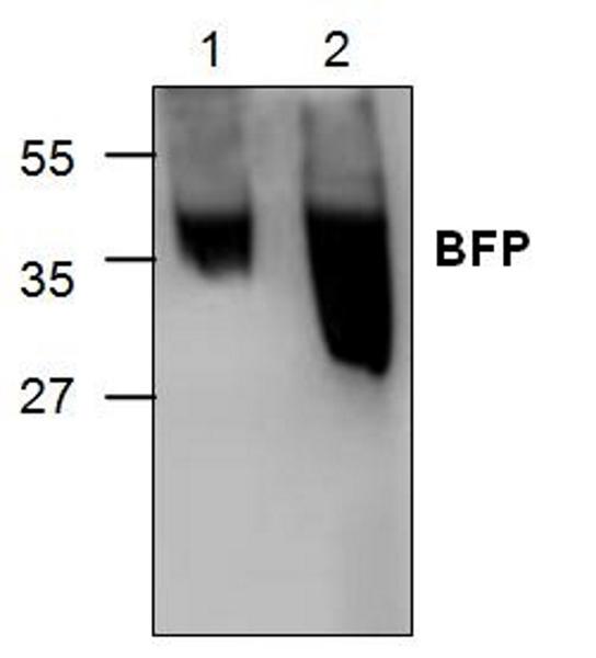 Blue Fluorescent Protein Antibody gallery image 1