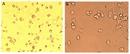 Bovine Dendritic Cell Growth Kit thumbnail image 1
