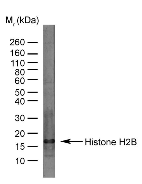 Histone H2B Antibody gallery image 1