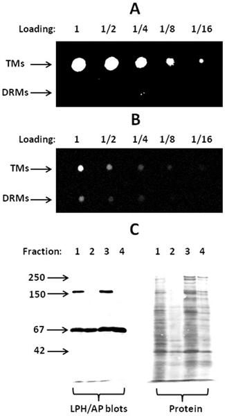 Intestinal Alkaline Phosphatase Antibody gallery image 1