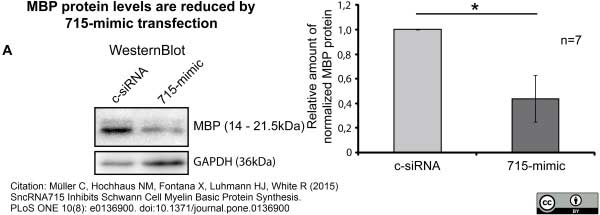 MBP Antibody | 12 gallery image 13