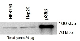 PI-3 Kinase p85 Subunit Beta Antibody | T15 gallery image 1