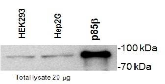 PI-3 Kinase p85 Subunit Beta Antibody   T15 gallery image 1