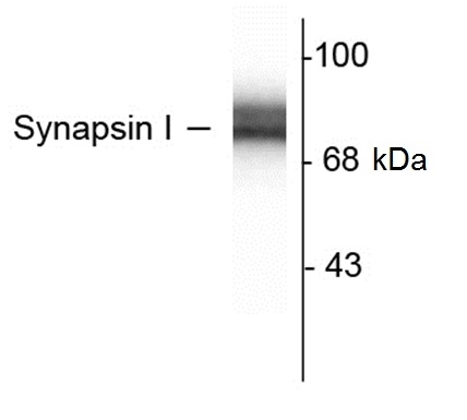 Synapsin I Antibody gallery image 1