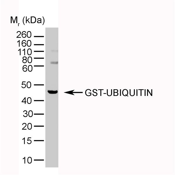 Ubiquitin Antibody | 1B4-UB gallery image 3