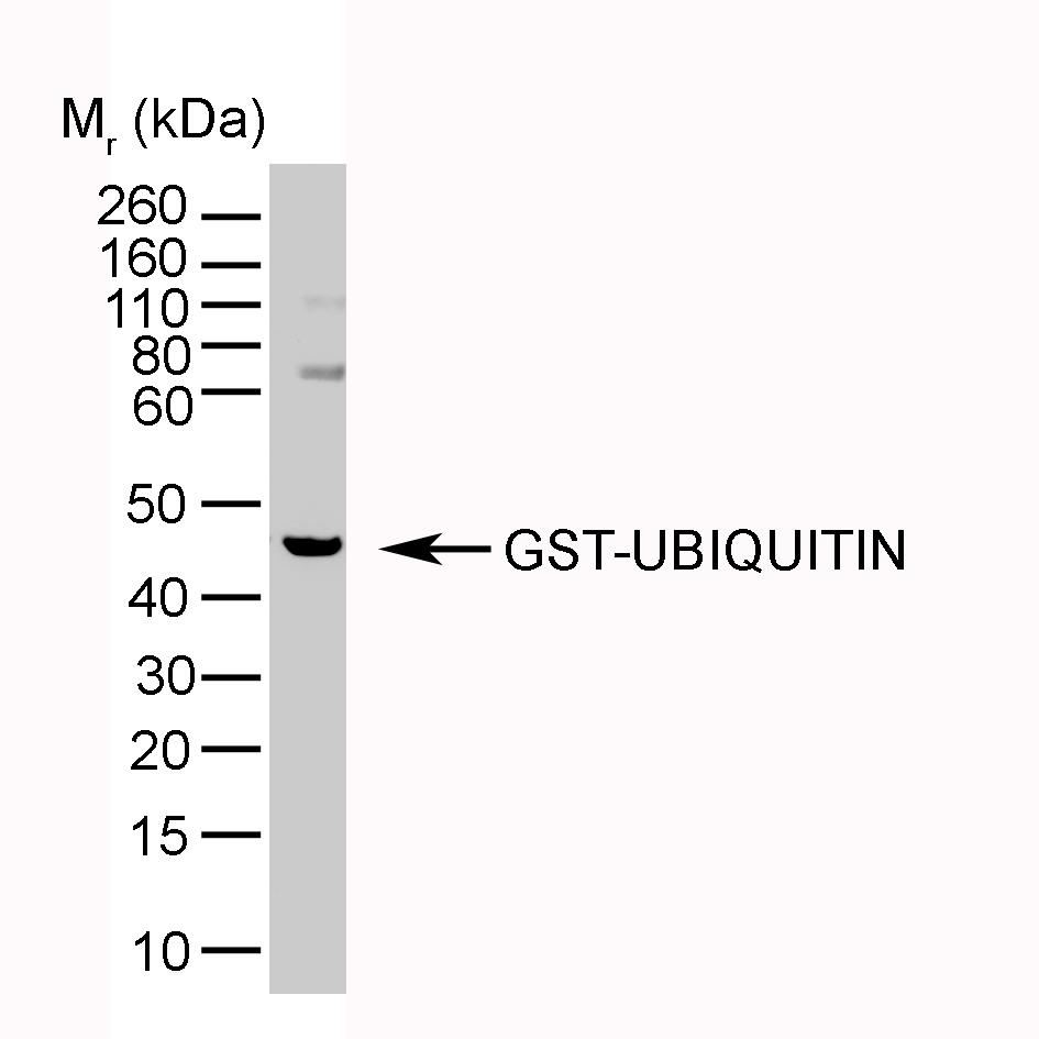 Ubiquitin Antibody   1B4-UB gallery image 3