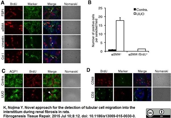 BrdU Antibody | BU1/75 (ICR1) gallery image 19