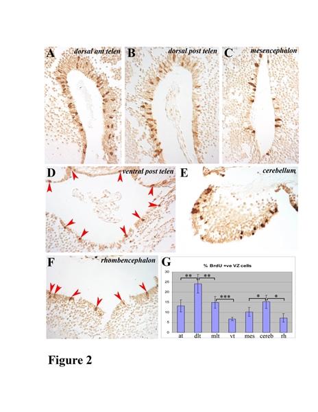 BrdU Antibody | BU1/75 (ICR1) gallery image 11