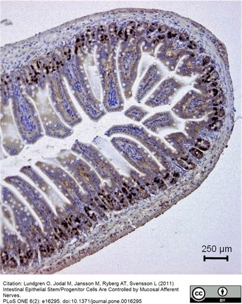 BrdU Antibody | BU1/75 (ICR1) gallery image 8