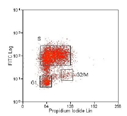 BrdU Antibody | BU1/75 (ICR1) gallery image 5