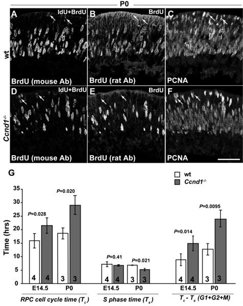 BrdU Antibody | BU1/75 (ICR1) gallery image 9