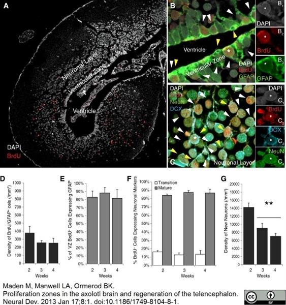 BrdU Antibody | BU1/75 (ICR1) gallery image 15