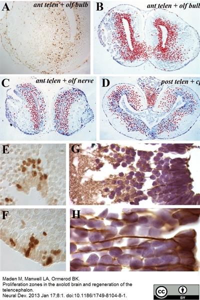 BrdU Antibody | BU1/75 (ICR1) gallery image 13