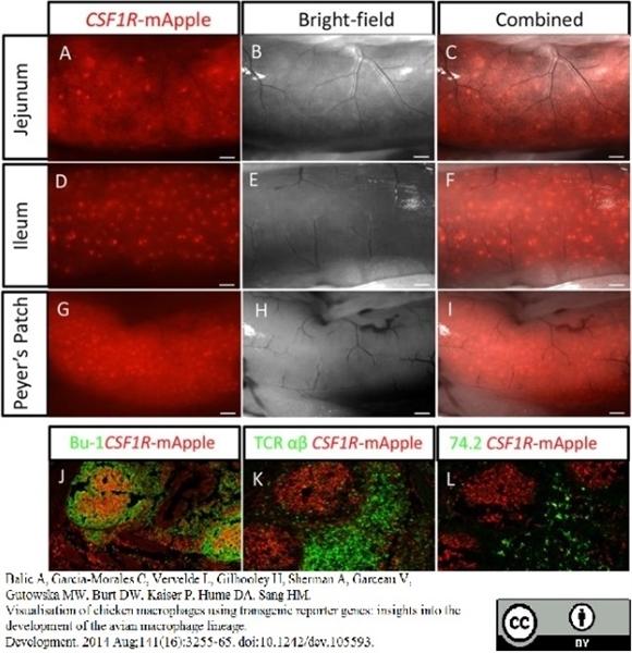 Bu-1A Antibody | L22 gallery image 2