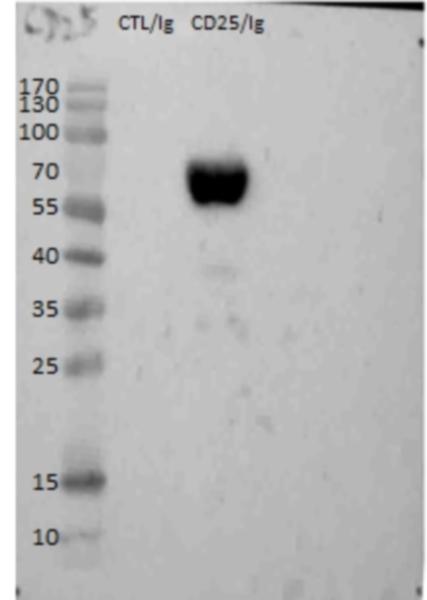 CD25 Antibody | AV142 gallery image 2