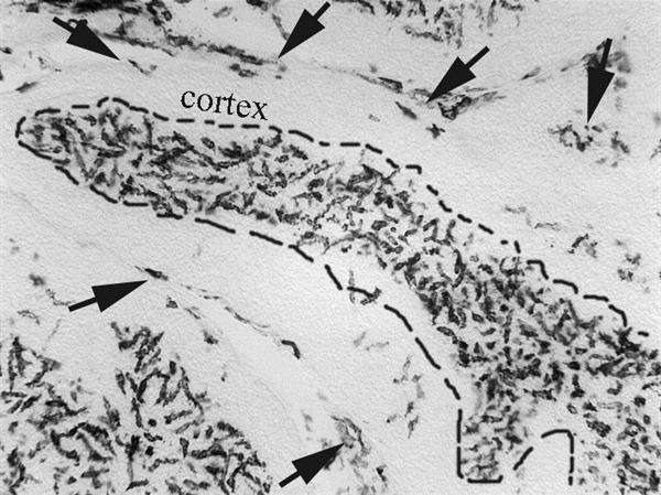 CSF1R Antibody | ROS-AV170 gallery image 3