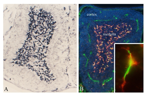 CSF1R Antibody | ROS-AV170 gallery image 4