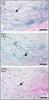 Monocytes/Macrophages Antibody | KUL01 thumbnail image 2