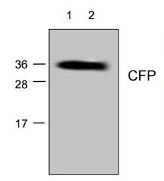 Cyan Fluorescent Protein Antibody gallery image 1