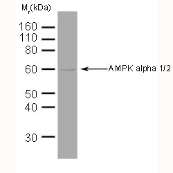 AMPK Alpha 1/2 Antibody   34.2 gallery image 1