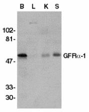 GDNFR Alpha Antibody gallery image 1