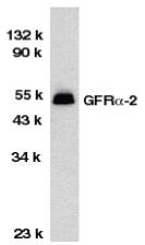 GFR Alpha 2 Antibody gallery image 1