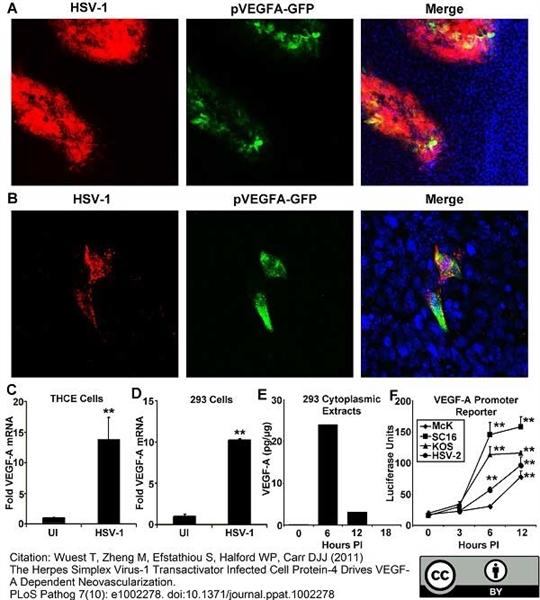 Green Fluorescent Protein Antibody gallery image 1