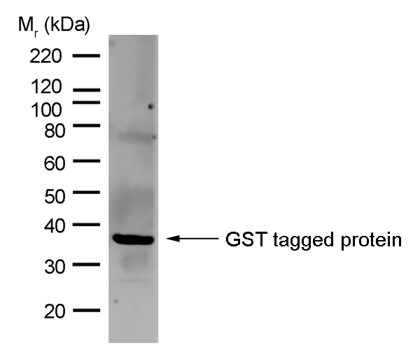 GST Antibody | AbD02021 gallery image 1