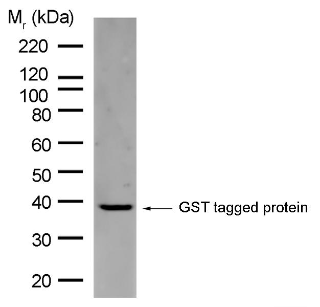 GST Antibody | AbD02031 gallery image 1