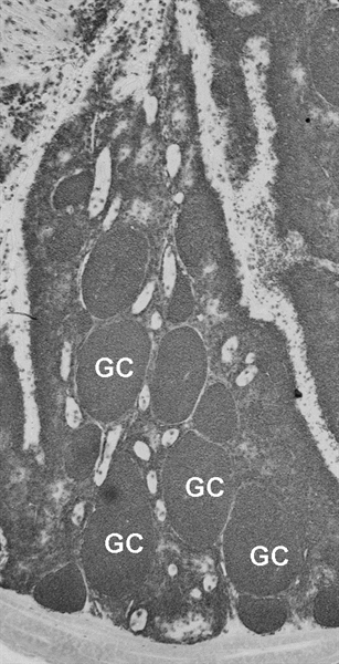 Bu-1a/b Antibody | BoA1 gallery image 4