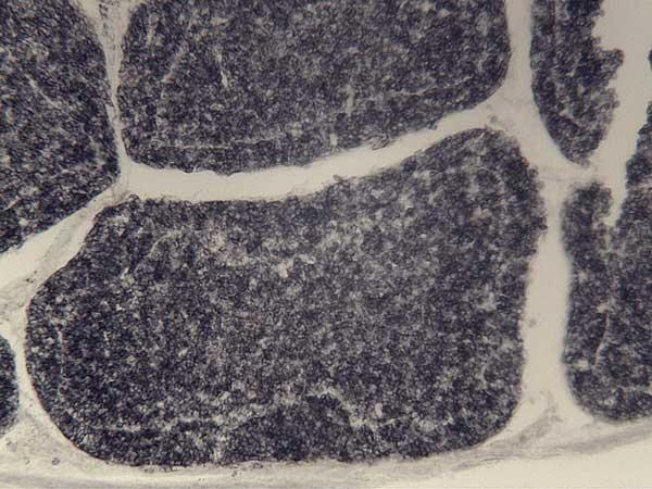 Bu-1a/b Antibody | BoA1 gallery image 3