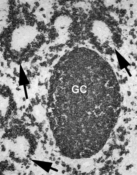 Bu-1a/b Antibody | BoA1 gallery image 2