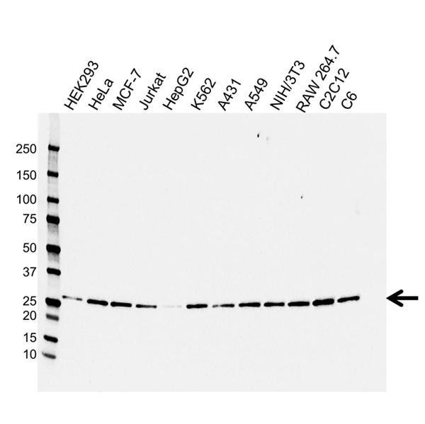 14-3-3 Beta/Alpha Antibody (PrecisionAb<sup>TM</sup> Antibody) gallery image 1