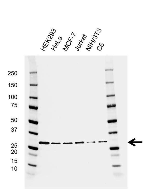 14-3-3 Epsilon Antibody (PrecisionAb<sup>TM</sup> Antibody) | AB01/1G9 gallery image 1