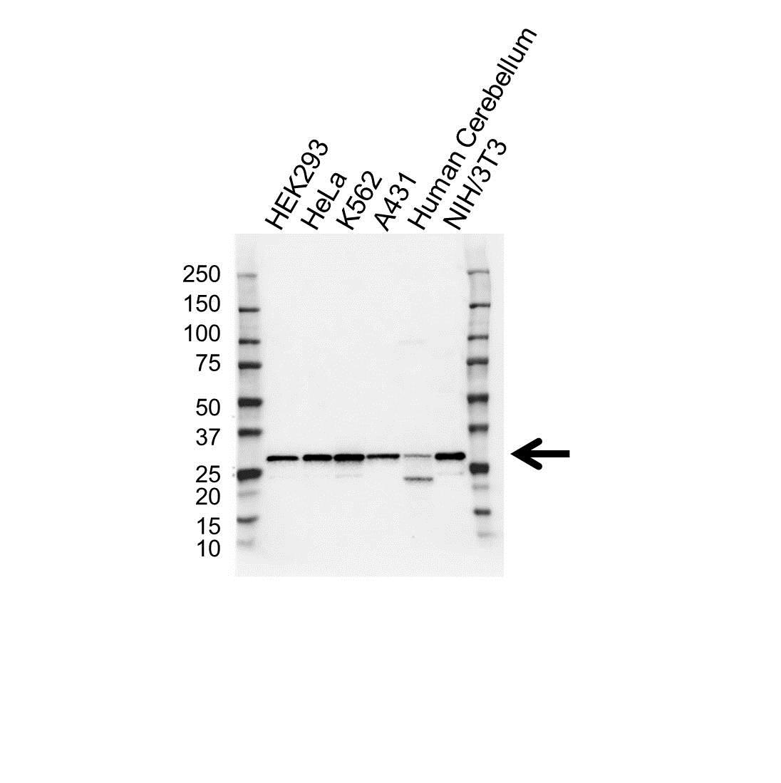14-3-3 Gamma Antibody (PrecisionAb<sup>TM</sup> Antibody) gallery image 1