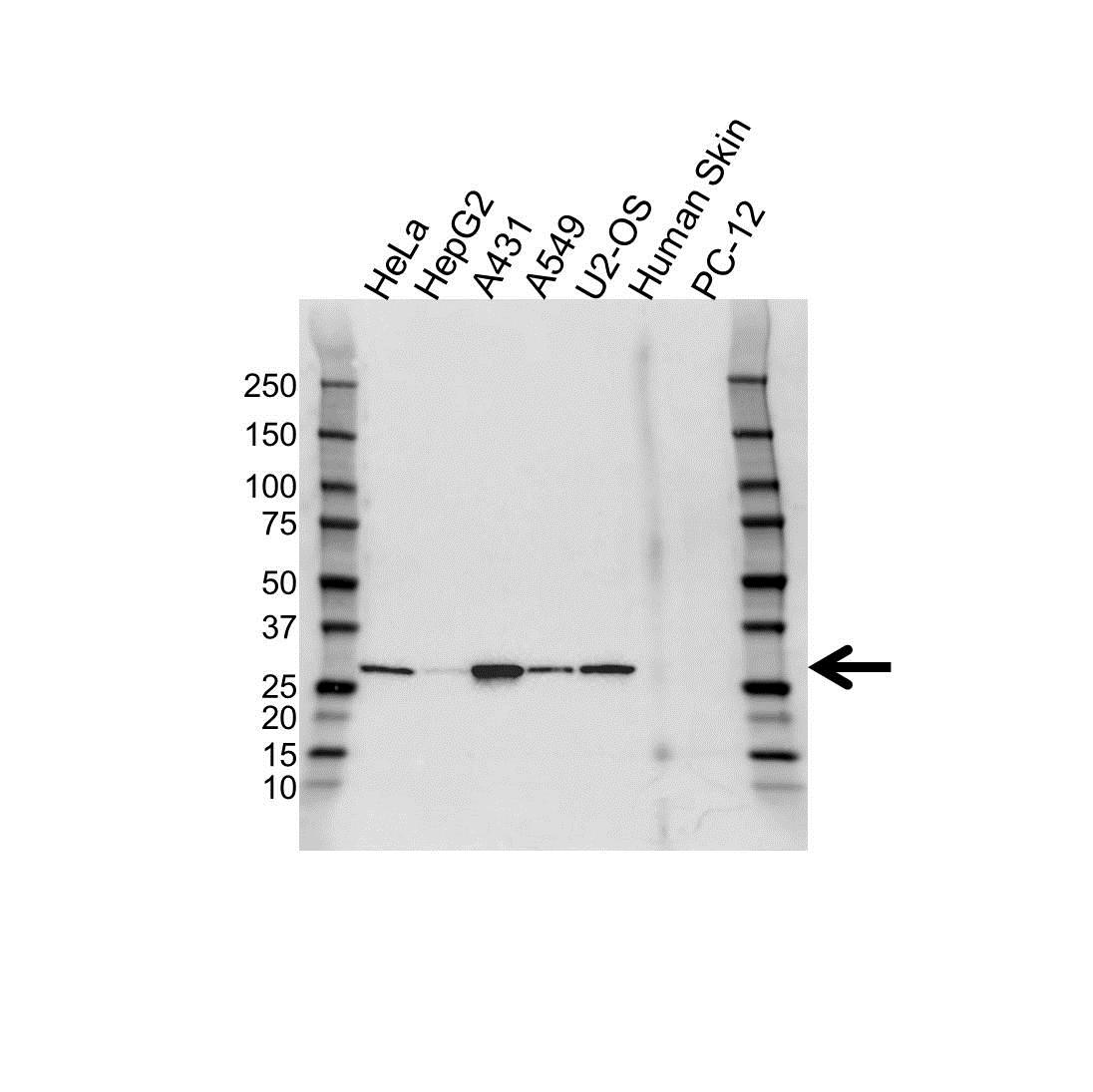 14-3-3 Sigma Antibody (PrecisionAb<sup>TM</sup> Antibody) gallery image 1