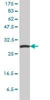 14-3-3 Sigma Antibody | 3C3 gallery image 1