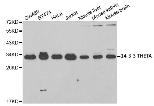 14-3-3 Theta Antibody gallery image 1