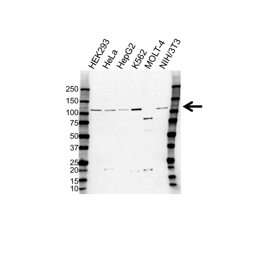 ABCF1 Antibody (PrecisionAb<sup>TM</sup> Antibody) gallery image 1