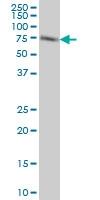 ACBD3 Antibody | 2G2 gallery image 3
