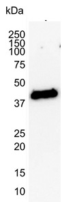 Actin Antibody | 1D11-2B9 gallery image 2