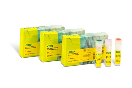 Actin Antibody | AbD22606 gallery image 1