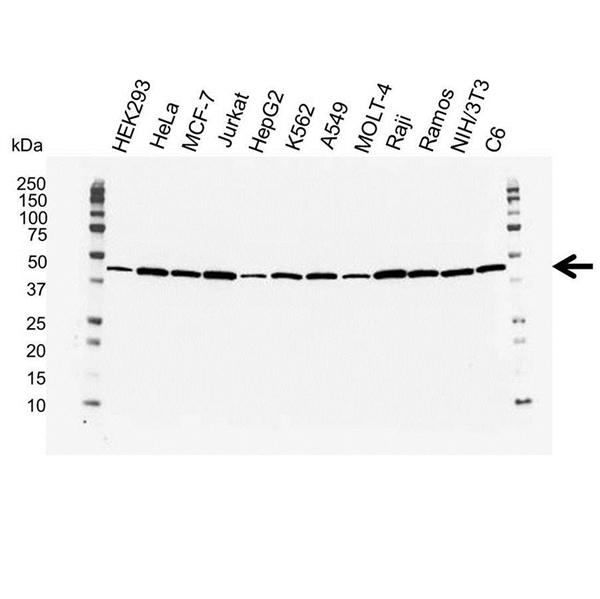 Actin Beta Antibody (PrecisionAb<sup>TM</sup> Antibody) gallery image 1