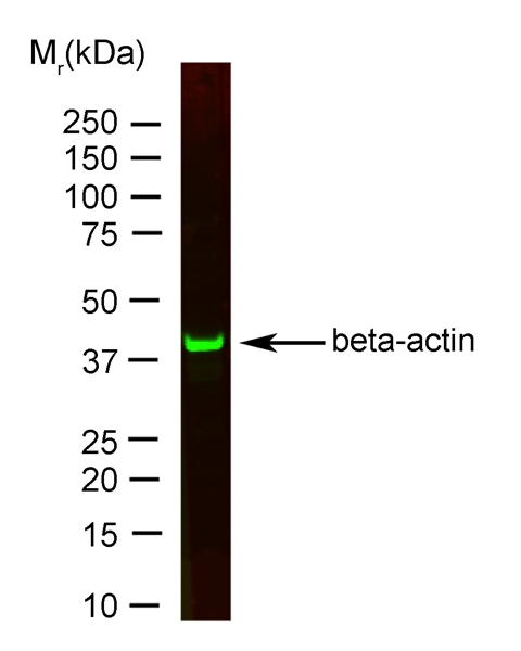 Actin Beta Antibody | 12141 gallery image 2