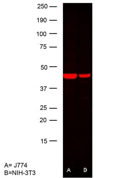 Actin Beta Antibody | 12141 gallery image 3