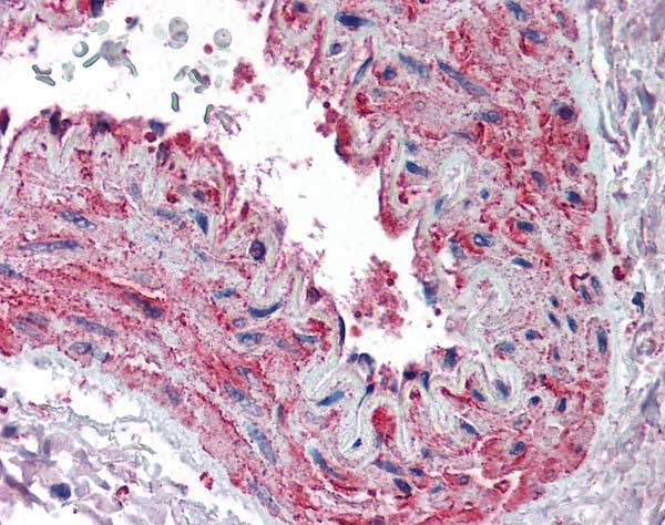Actin Beta Antibody gallery image 1