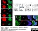 Actin Beta Antibody | 4C2 thumbnail image 8