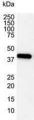 Actin Beta Antibody | 4C2 gallery image 1