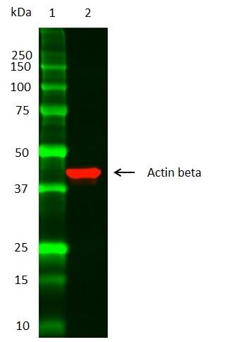 Actin Beta Antibody gallery image 2